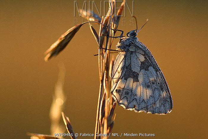 Marbled white butterfly (Melanargia galathea) Lozere, France