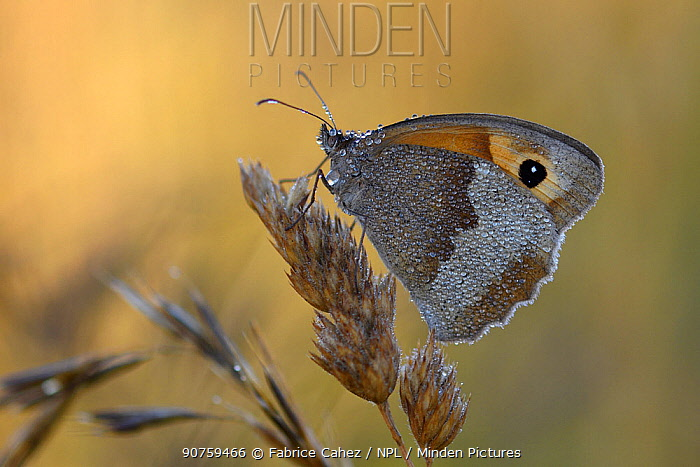 Meadow brown butterfly (Maniola jurtina) at dawn, Vosges, France, July.