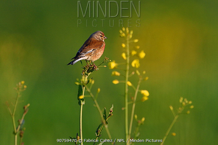 Common linnet (Linaria cannabina) perched, Vosges, France
