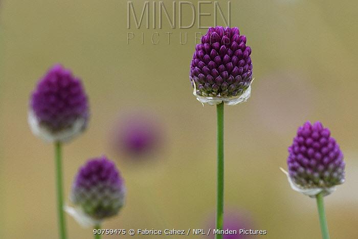 Round-headed garlic (Allium sphaerocephalon) flowers, Mejean, Lozere, France, July.