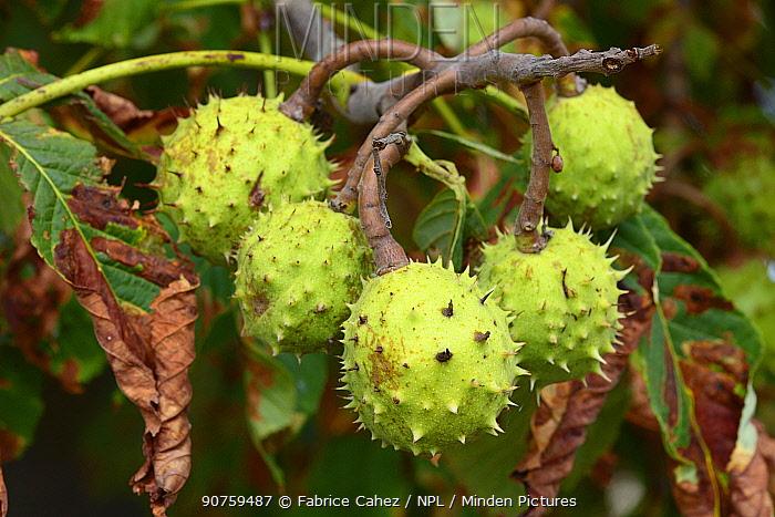European horse-chestnut (Aesculus hippocastanum) fruit, Vosges, France