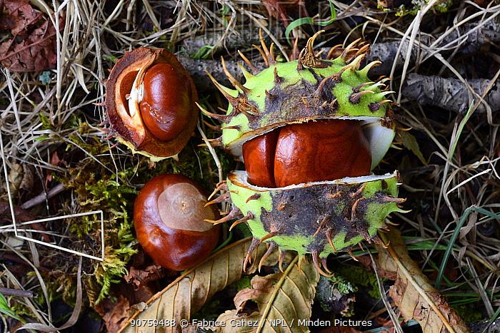 European horse-chestnut (Aesculus hippocastanum) fruit and seeds, Vosges, France
