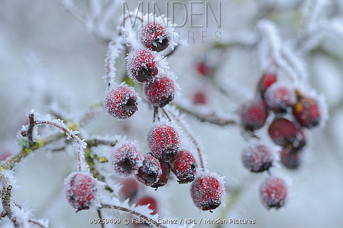 Hawthorn (Crataegus monogyna) berries covered in frost, Vosges, France, January.