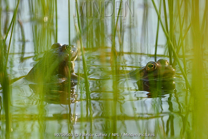 Edible frog (Rana esculenta) in water, Vosges, France, May.