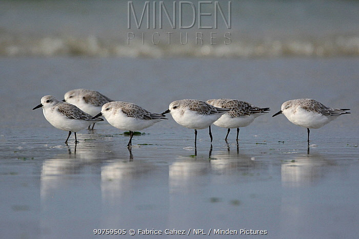 Sanderling (Calidris alba) group on the shore, Baie de Morlaix, Brittany, France, October.