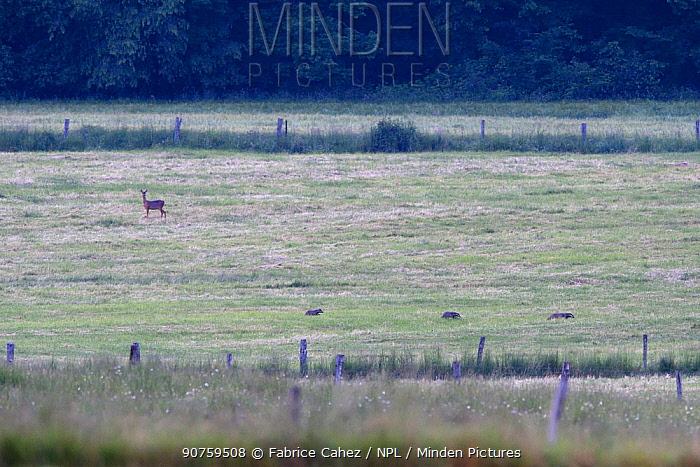 Badger (Meles meles) family at dawn in a meadow, Vosges, France, June.