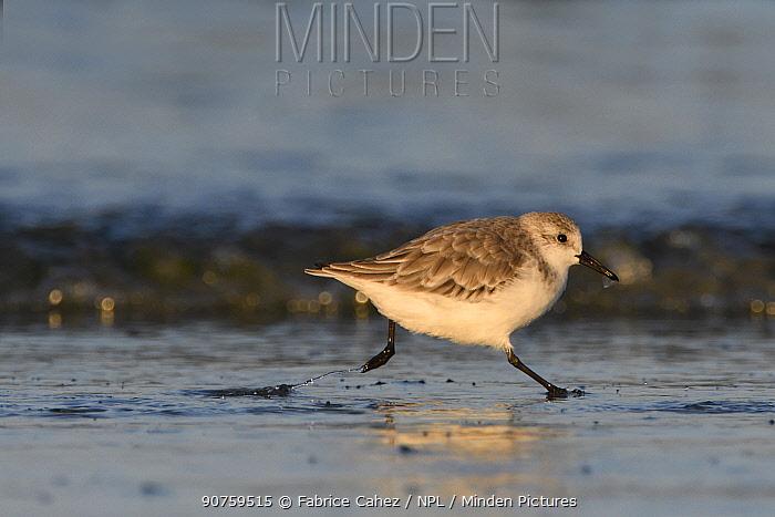 Sanderling (Calidris alba) Baie de Morlaix, Brittany, France, October.