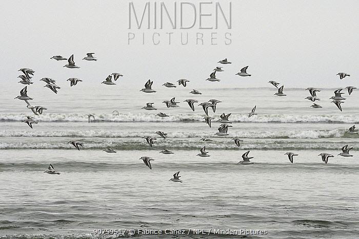 Sanderling (Calidris alba) flock in flight, Baie de Morlaix, Brittany, France, October.