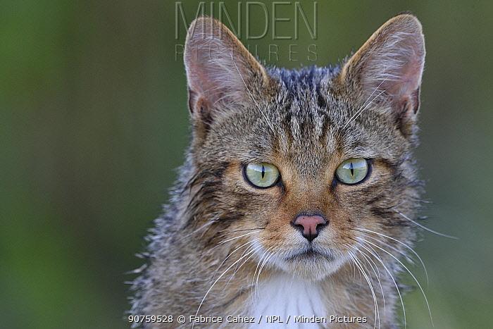 Wild cat (Felis silvestris) portrait, Vosges, France, June.