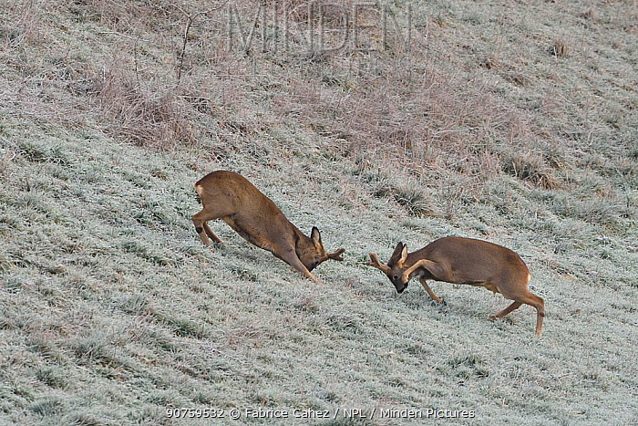 Roe deer (Capreolus capreolus) two fighting, Vosges, France, January.