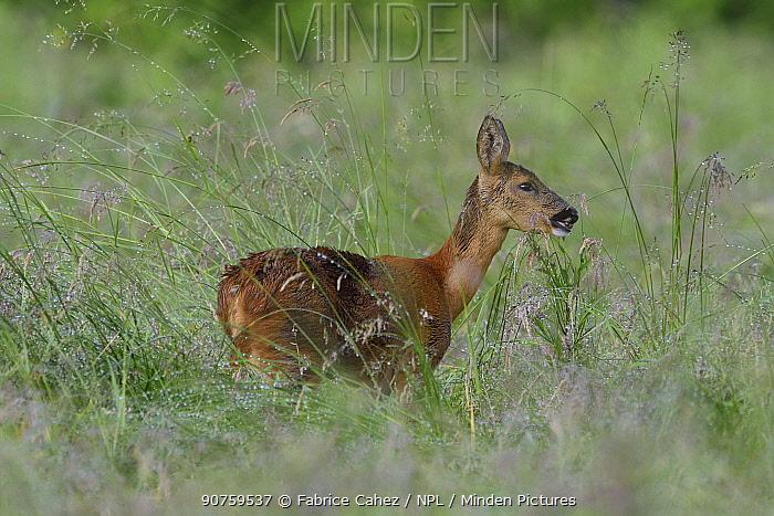 Roe deer (Capreolus capreolus) in grass, Vosges, France, July