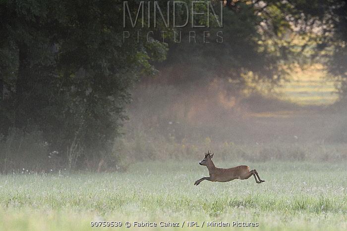Roe deer (Capreolus capreolus) running, Vosges, France, July