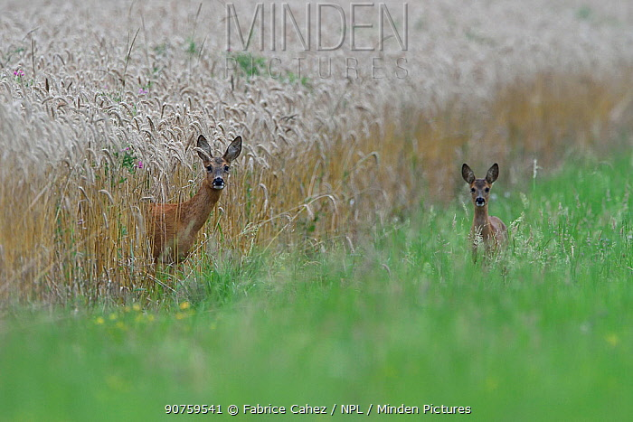 Roe deer (Capreolus capreolus) female with young in wheat field, Vosges, France, July.