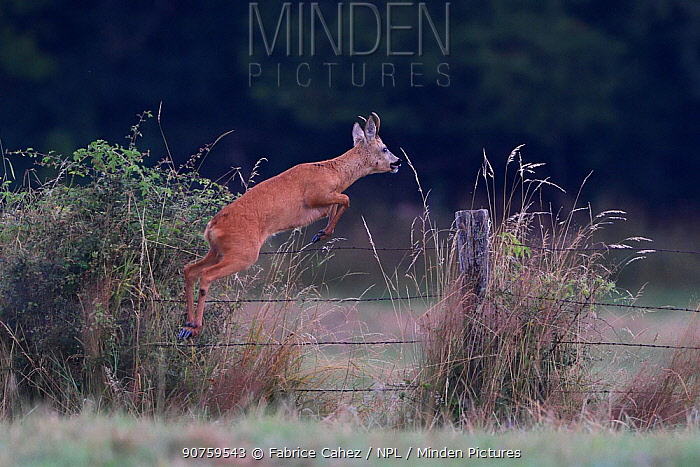 Roe deer (Capreolus capreolus) leaping over fence,  Vosges, France