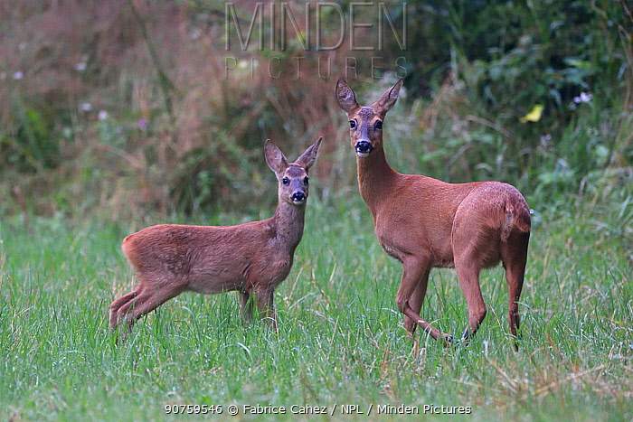 Roe deer (Capreolus capreolus) female with young, Vosges, France, August.