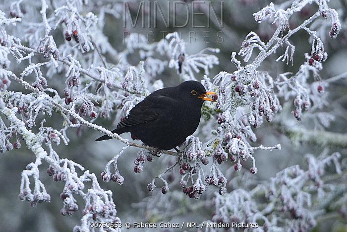 Common blackbird (Turdus merula) Vosges, France, November.