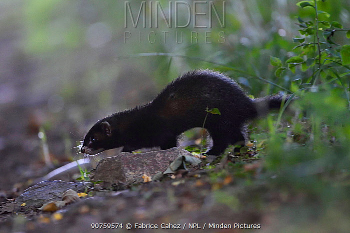 Polecat (Mustela putorius) Vosges, France, August.