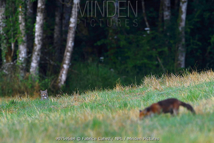 Wildcat (Felis sylvestris) watching Red fox (Vulpes vulpes) Vosges, France, July.