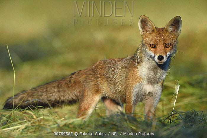 Red fox (Vulpes vulpes) Vosges, France, June.