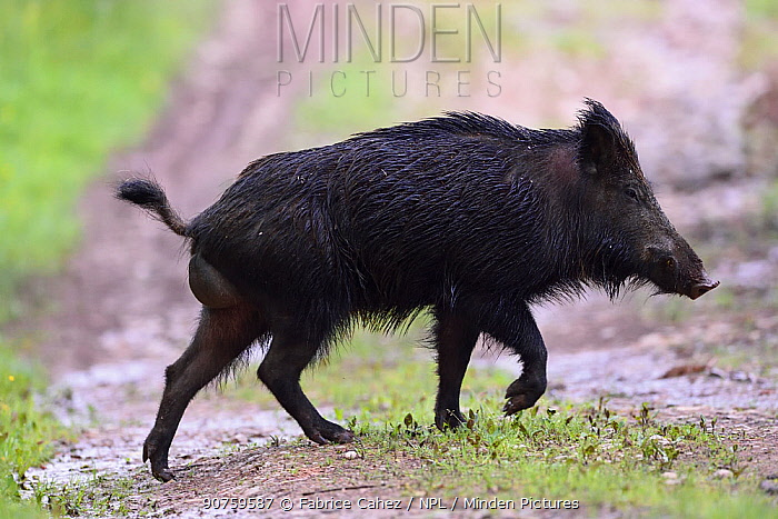 Wild boar (Sus scrofa) Vosges, France, June.