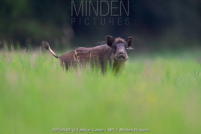 Wild boar (Sus scrofa) Vosges, France, July.