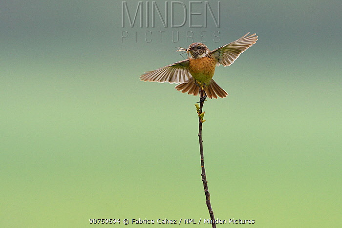 European stonechat (Saxicola torquatus) landing on twig, with wings outstretched and cranefly prey, Vosges, France