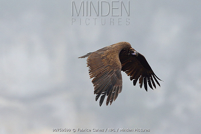 Cinereous vulture (Aegypius monachus) in flight, Cevennes, France, March.