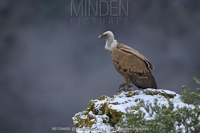 Eurasian griffon vulture (Gyps fulvus) Cevennes, France,