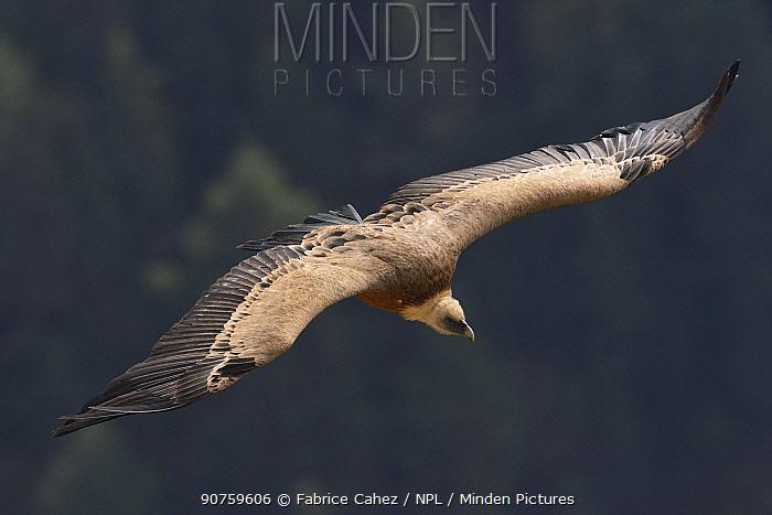 Eurasian griffon vulture (Gyps fulvus) flying, Cevennes, France, June.