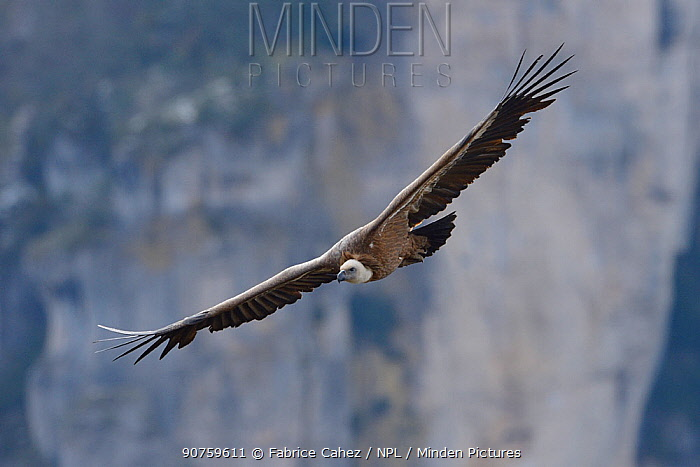 Eurasian griffon vulture (Gyps fulvus) in flight, Cevennes, France, March 2016.