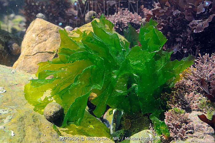 Sea lettuce / Green laver (Ulva lactuca) growing in a rockpool alongside Coralweed (Corallina officinalis). Rhossili, The Gower Peninsula, UK, July.