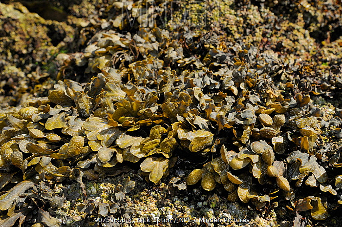 Spiral / Flat wrack (Fucus spiralis) growing on rocks high on the shoreline, exposed at low tide. Rhossili, The Gower Peninsula, UK, July.