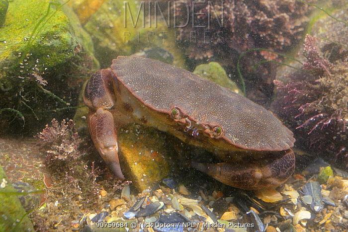 Edible crab (Cancer pagurus) camouflaged among Coralweed (Corralina officinalis) in rockpool. Rhossili, The Gower Peninsula, UK, July.