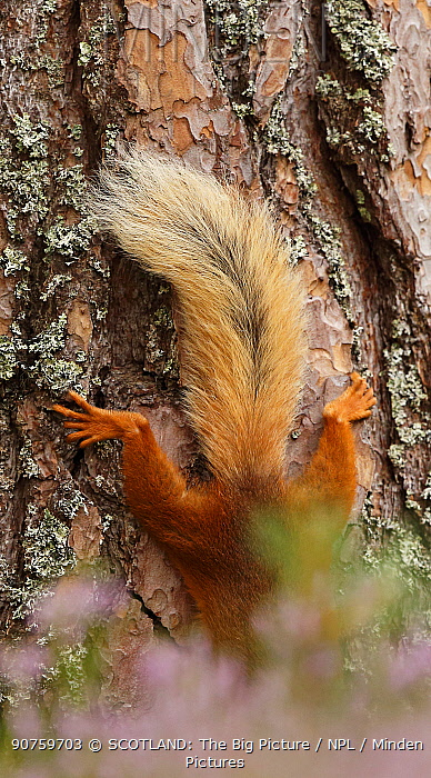 Red squirrel (Sciurus vulgaris) climbing down Scots pine tree, just  tail visible.  Cairngorms National Park, Highlands, Scotland. August.