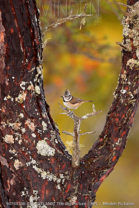 Crested tit (Lophophanes cristatus) framed by branches on old scots pine tree, Cairngorms National Park, Highlands, Scotland, UK, January.