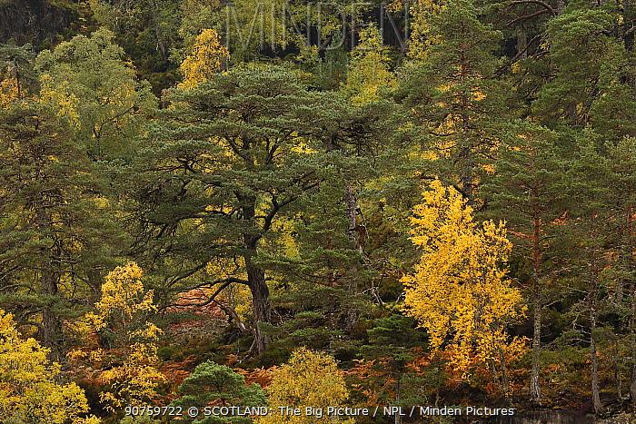 Mixed native woodland of Silver Birch (Betula pendula) and ancient Scots Pine (Pinus sylvestris) in Glen Strathfarrar, Highlands,  Scotland