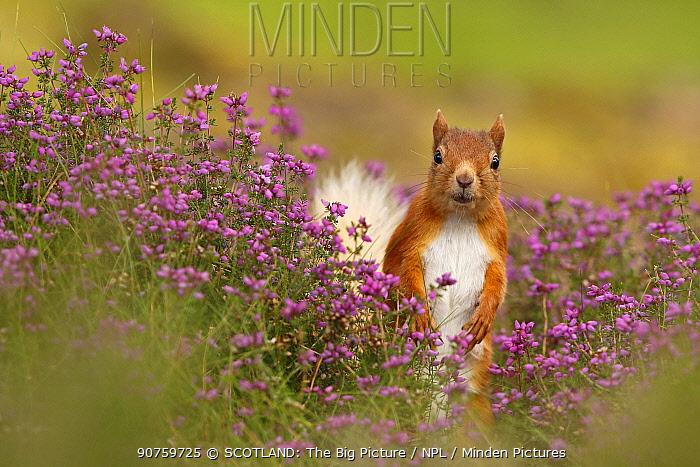 Red squirrel (Sciurus vulgaris) amongst Bell heather (Erica cinerea) Cairngorms National Park, Highlands, Scotland, August.