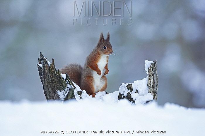 Red squirrel (Sciurus vulgaris) standing alert on snow covered tree stump, Cairngorms National Park, Scotland, UK, December 2015.