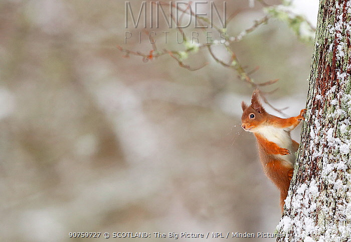 Red Squirrel (sciurus vulgaris) in winter hanging from trunk of Oak tree, Cairngorms National Park, Highlands, Scotland, UK, January.