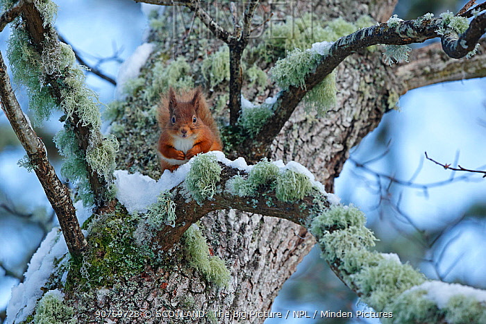 Red squirrel (Sciurus vulgaris) sitting on lichen and snow covered Oak branch, Cairngorms National Park, Highlands, Scotland, UK, December 2015.
