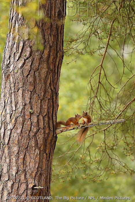 Two young Red squirrels (Sciurus vulgaris) near drey, Cairngorms National Park, Highlands, Scotland, UK, September 2015.