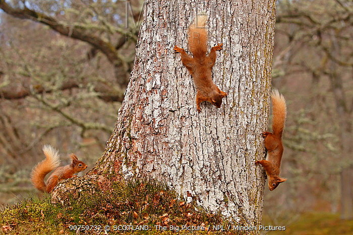 Red squirrels (Sciurus vulgaris) three chasing each other round oak tree, Cairngorms National Park, Highlands, Scotland, UK, April.