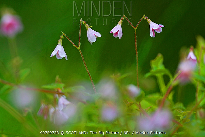 Twinflower (Linnaea borealis) in pine woodland, Cairngorms National Park, Highlands, Scotland, UK, June.