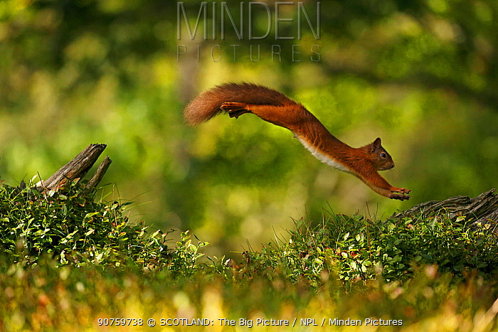 Red Squirrel (Sciurus vulgaris) leaping between tree stumps, Cairngorms National Park, Highlands, Scotland, UK. Sequence 3 of 3.