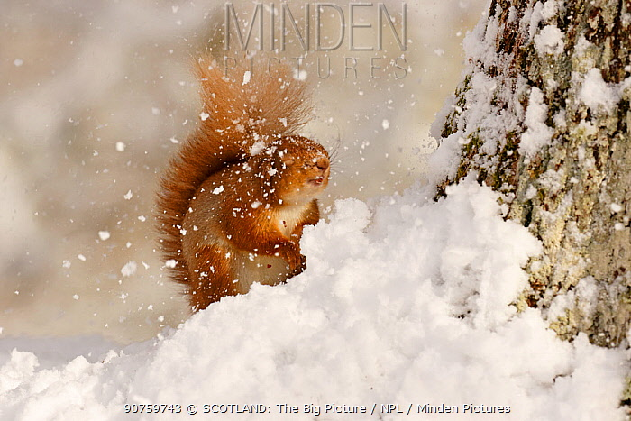 Red squirrel (Sciurus vulgaris) hit by falling snow, Cairngorms National Park, Highlands, Scotland, UK, March.
