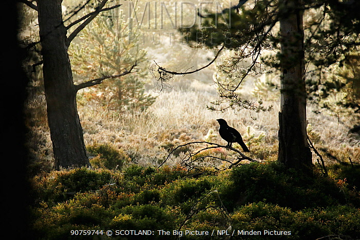 Capercaillie (Tetrao urogallus) male silhouetted against misty frosty pine forest. Cairngorms National Park, Highlands, Scotland, October 2015.
