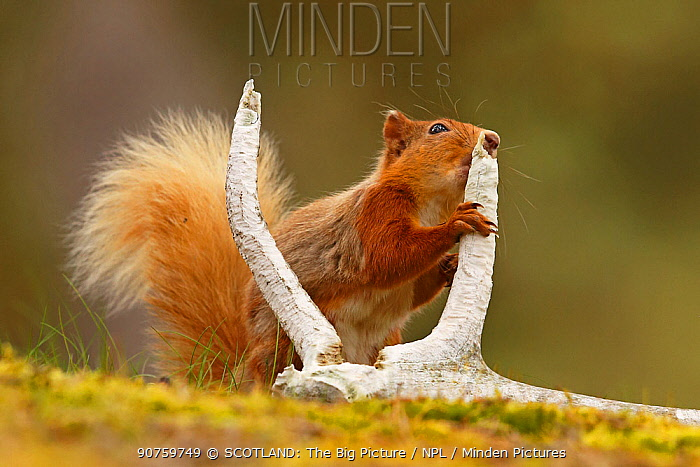 Red squirrel (Sciurus vulgaris) gnawing red deer antler for minerals, Cairngorms National Park, Highlands, Scotland, UK, June.