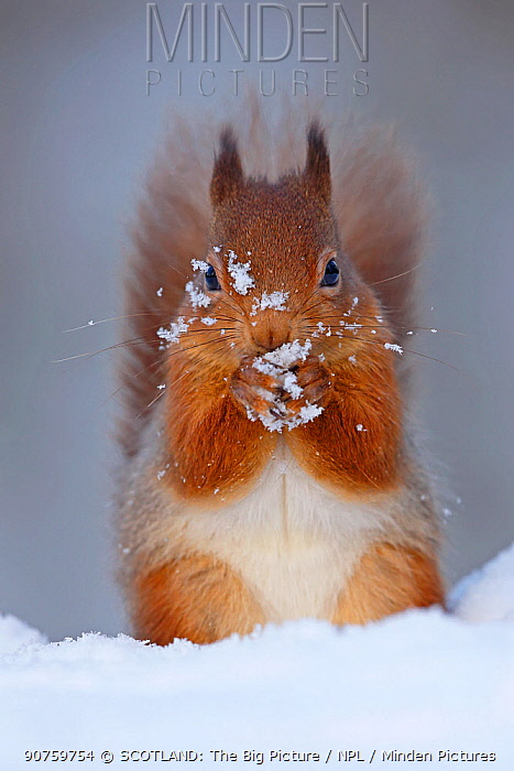 Red squirrel (sciurus vulgaris) feeding in snow, Cairngorms National Park, Highlands, Scotland, UK