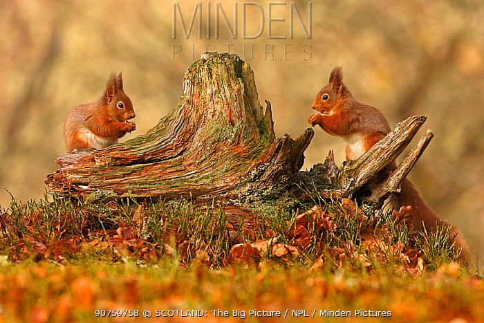 Red squirrels (Sciurus vulgaris) feeding next to each other on old tree stump, Cairngorms National Park, Highlands, Scotland, UK, February.