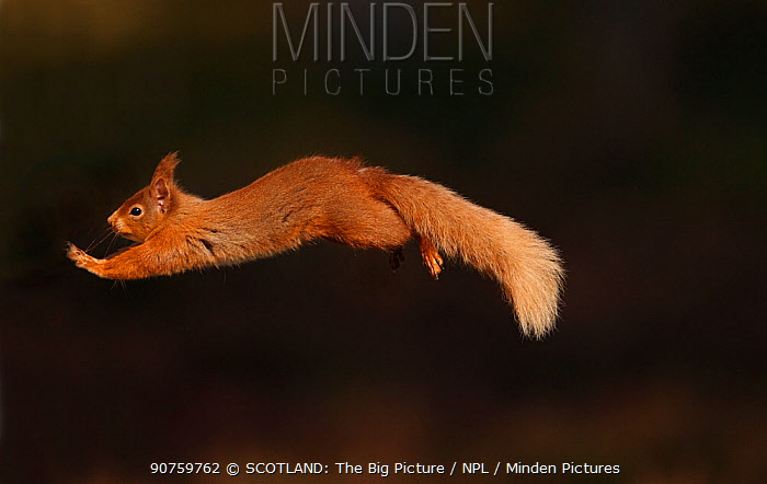 Red squirrel (Sciurus vulgaris) leaping between pine trees in forest in late afternoon light, Cairngorms National Park, Highlands, Scotland, UK, April.